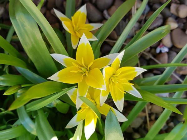 Species Tulip tarda