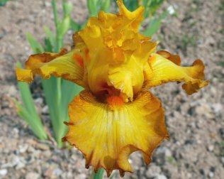 Cayeux Iris' Iris Souffle Chaud. Picture; RHS