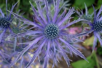 Hillier Nurseries Eryngium Blue Wave. Picture; RHS