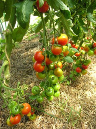 Primavera tomato. Picture; Lubera