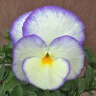 Victorian Violas Viola Carousel. Picture; RHS