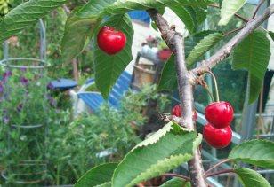 Cherry Regina