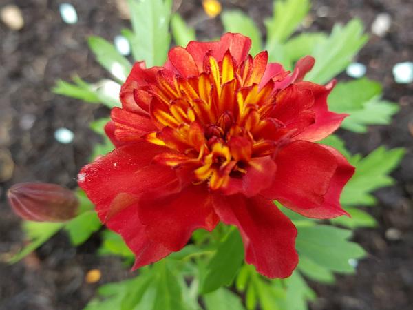 French marigold Strawberry Blonde