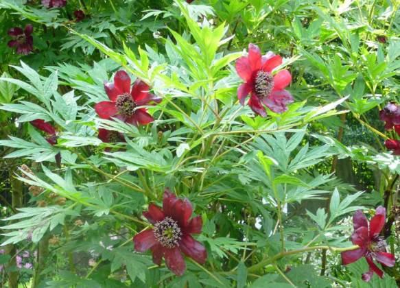 Red tree peony
