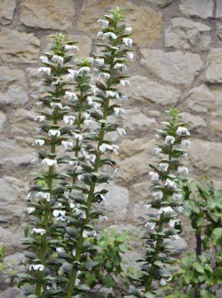 Acanthus spinosa alba