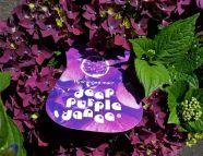 Hydrangea Deep Purple Dance