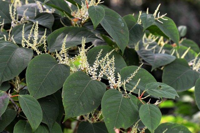Destructive rhizomes: Japanese knotweed