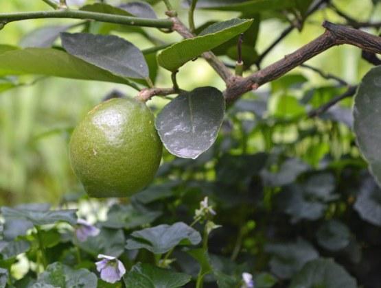 Meyer's lemon and Viola hederacea