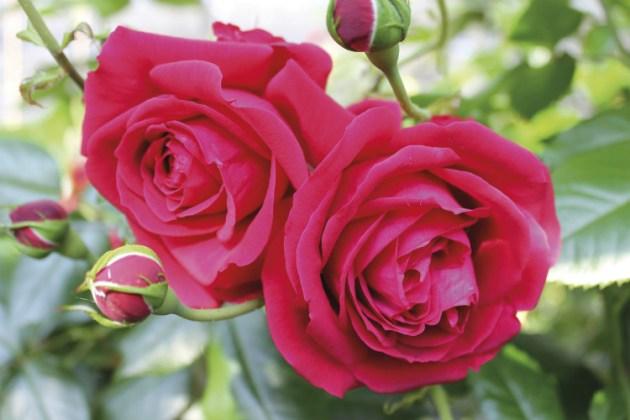 Rose Republic de Montmartre. Picture; Woolmans