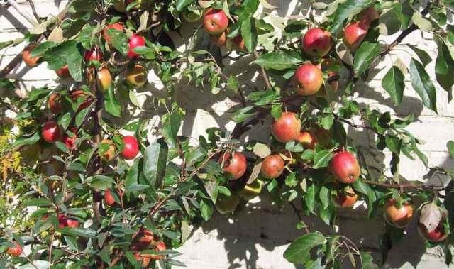 Apple in a barrel Red Falstaff