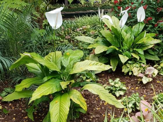Calla lilies, Funchal Municipal Garden