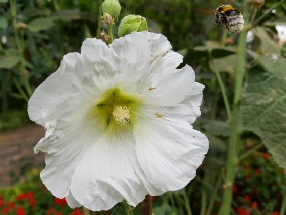 Hollyhock with bee, Funchal Municipal Garden
