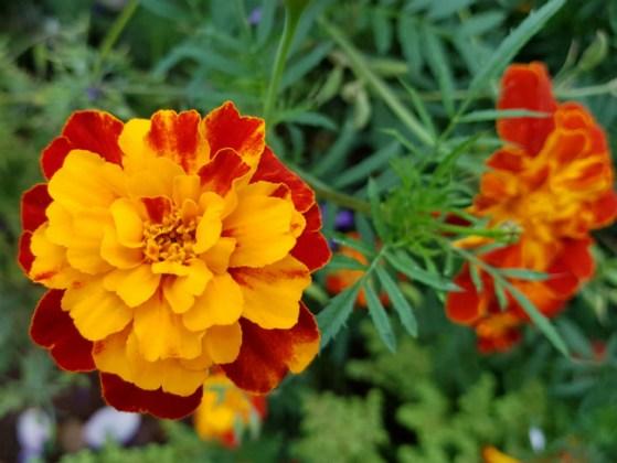 Marigolds, Funchal Municipal Garden