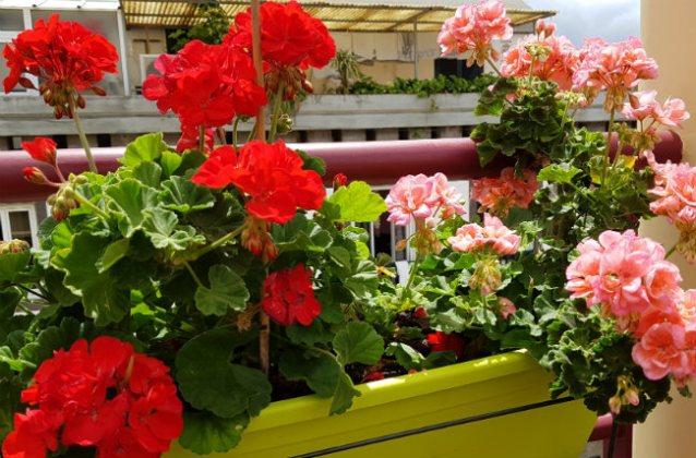 Pelargoniums (geraniums) bursting with colour, Mercado dos Lavradores rooftop bar, Funchal