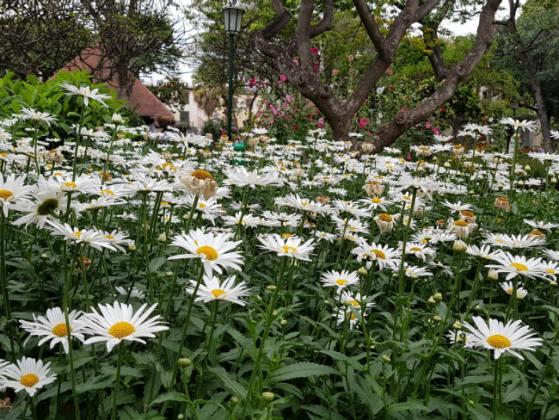 Shasta daisies, Funchal Municipal Garden