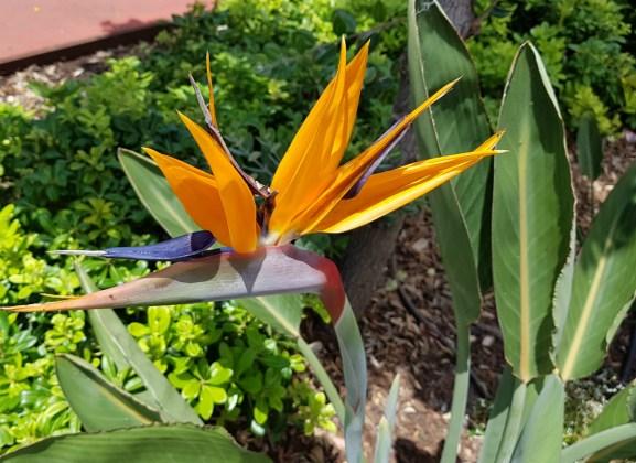 Strelizai reginae (bird of paradise flower) on the seafront, Funchal