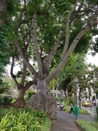 Massive swollen tree trunk, Funchal Municipal Garden