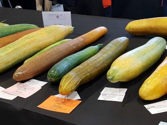 Giant cucumbers
