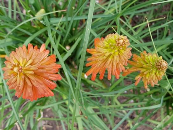 Orange Kniphofia, Birmingham Botanical Gardens