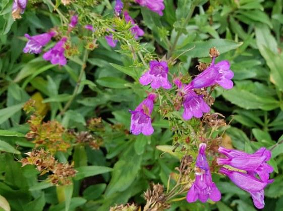 Penstemon Heavenly Blue, Birmingham Botanical Gardens