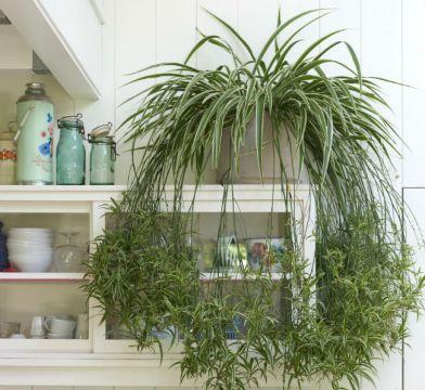 Chlorophytum. Picture; www.thejoyofplants.co.uk