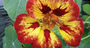 Nasturtium Orchid Flame. Picture; Thompson & Morgan