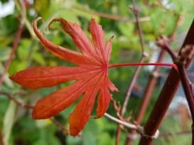 Acer Trompenburg's last leaf