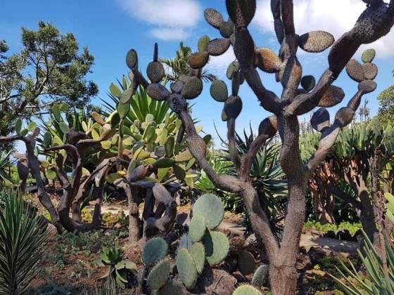 Opuntia in the cactus and succulent garden