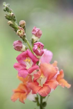 Antirrhinum Chantilly Bronze F1 Hybrid. Picture; Chiltern Seeds