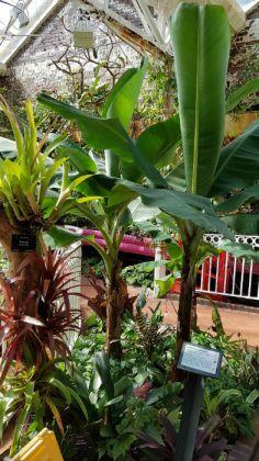 Banana Dwarf Cavendish and bromeliads