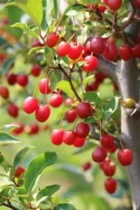 Early Pointilla Fruithunters Cherrific. Picture; Lubera