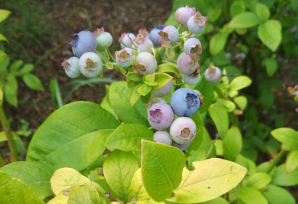 Blueberry Yelloberry. Picture; Lubera