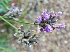 Lavender's last gasp