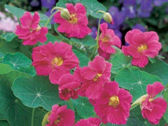 Nasturtium Jewel Cherry Rose. Picture; DT Brown