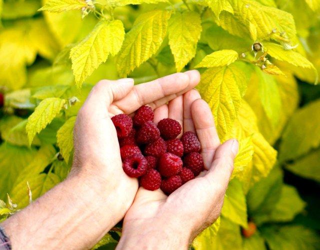 Raspberry Groovy. Picture; Dobies