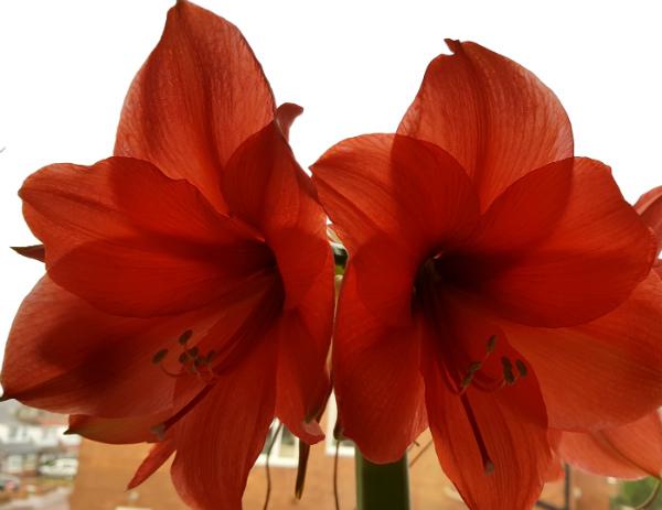 Amaryllis Orange Sovereign