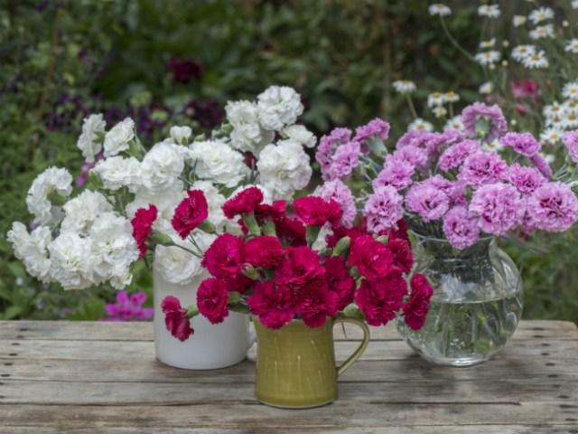 Scented garden pinks. Picture; Woolmans
