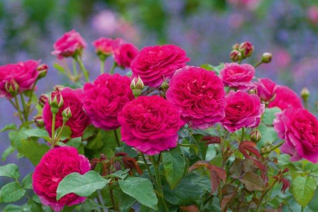 New rose Gabriel Oak. Picture; David Austin Roses
