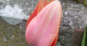 Tulip kaufmannii