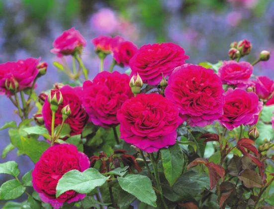 Rose Gabriel Oak (Auscrowd)). Picture; David Austin Roses