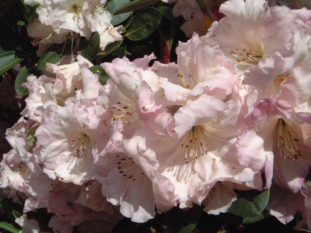 Rhododendron Douggie Betteridge. Picture; Exbury Gardens