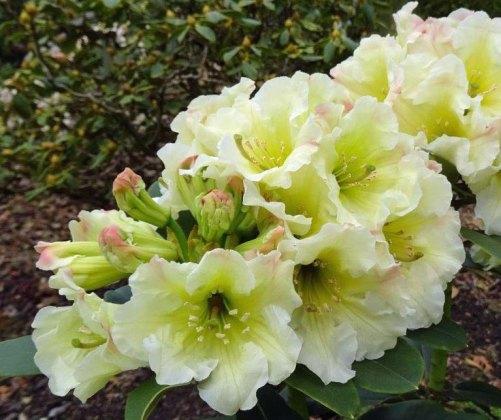 Rhododendron Jessica de Rothschild. Picture; Millais Nurseries