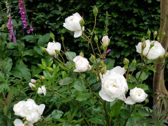 Masses of flowers on Desdemona