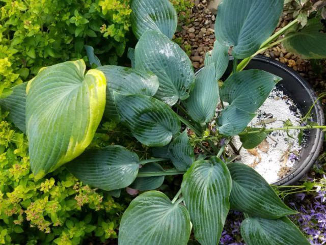 Ecofective Slug Defence Barrier Granules used as a pot dressing for hostas