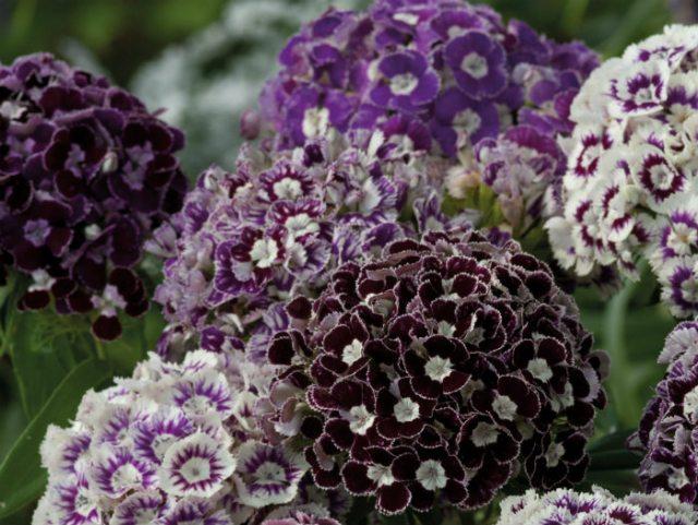 Dianthus Hollandia Purple Crown. Picture; Johnsons