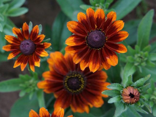 Rudbeckia Chocolate Orange. Picture; Mr Fothergill's