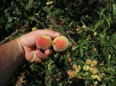 Peach Veroma Bello. Picture; Lubera