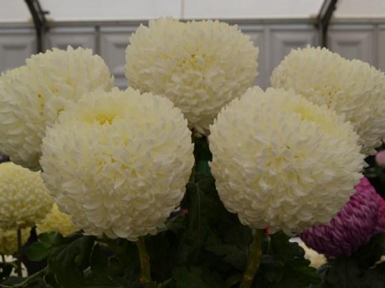 Cream vase of Chrysanthemums