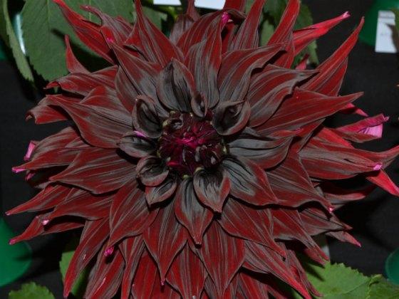 Dark chocolate dahlia