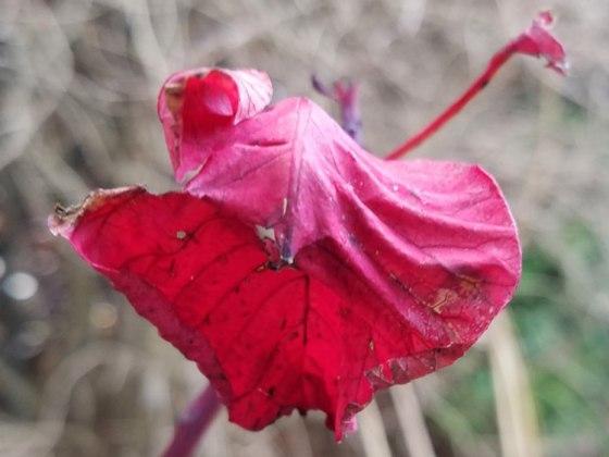 Last leaf on smoke bush (Cotinus)